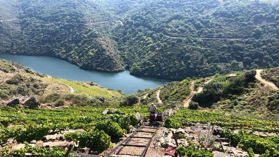 Vendimia en la viña de Camiño Novo, de la que sale el vino gallego mejor valorado por Suckling