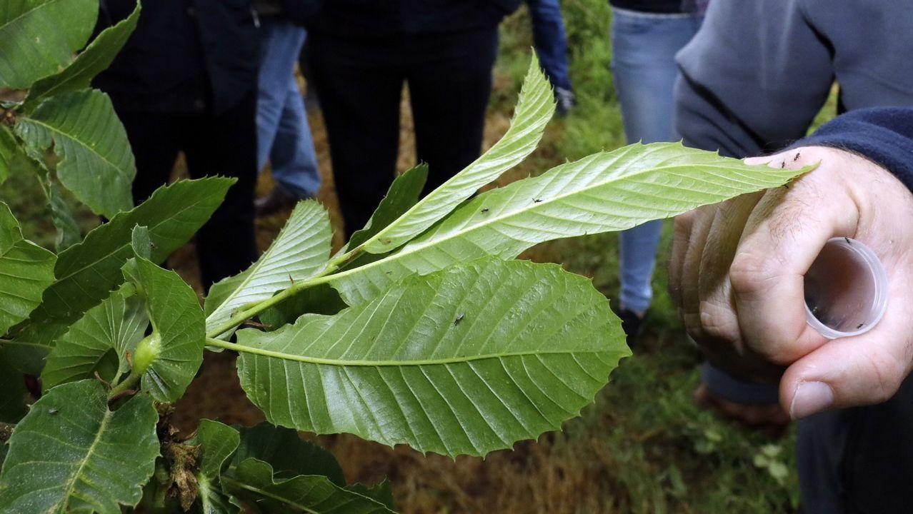 Suelta del insector depredador de la avispilla en castaños de la provincia de Lugo