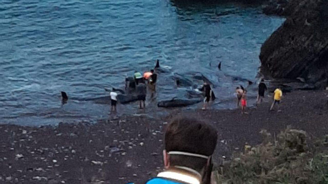 Liberación de varios calderones varados en la playa de Morís, en Carreño.Los científicos muestran el dispositivo