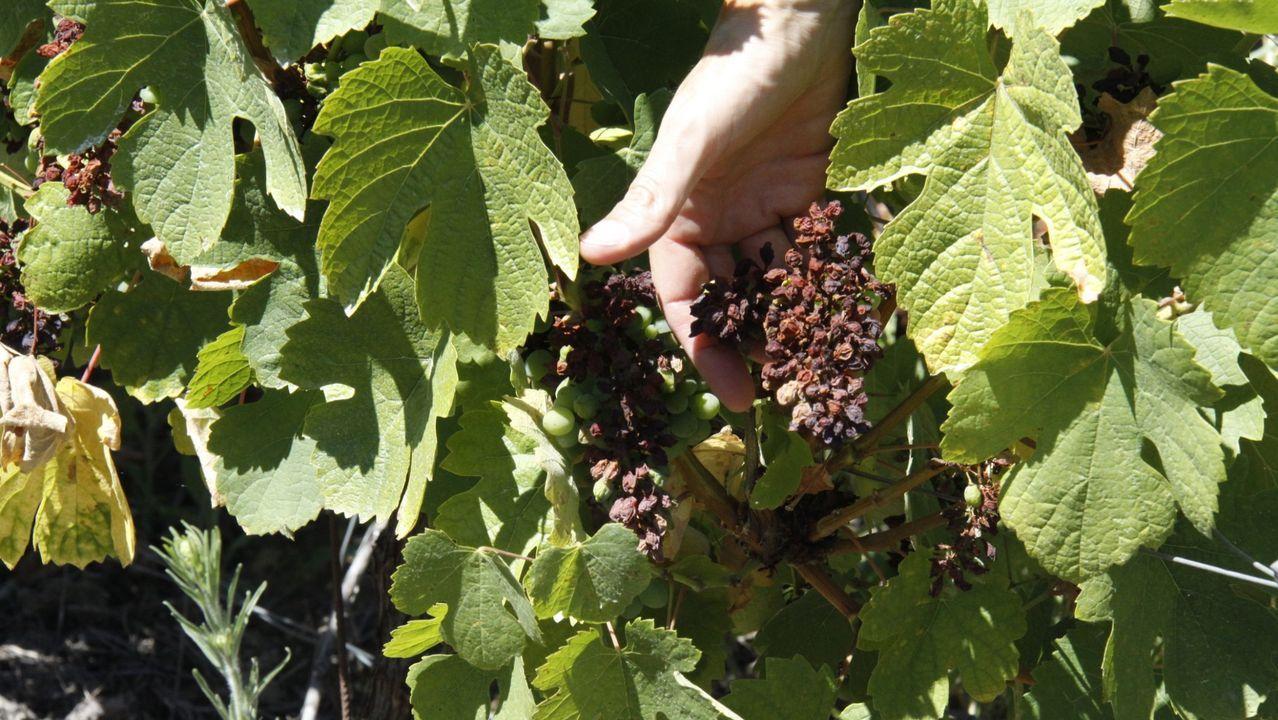 Viñedo afectado por el mildiu