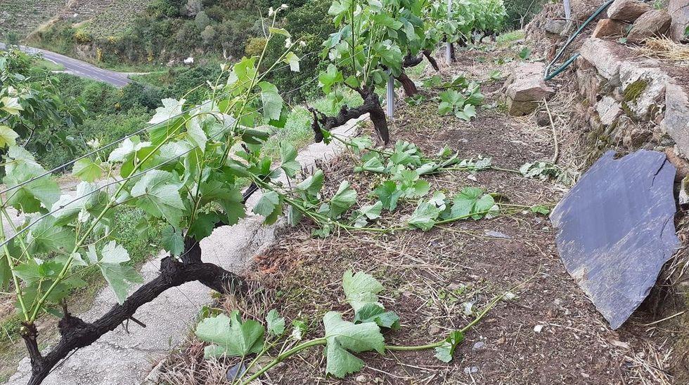 Los sarmientos arrancados por el vendaval se acumulan entre los bancales de un viñedo
