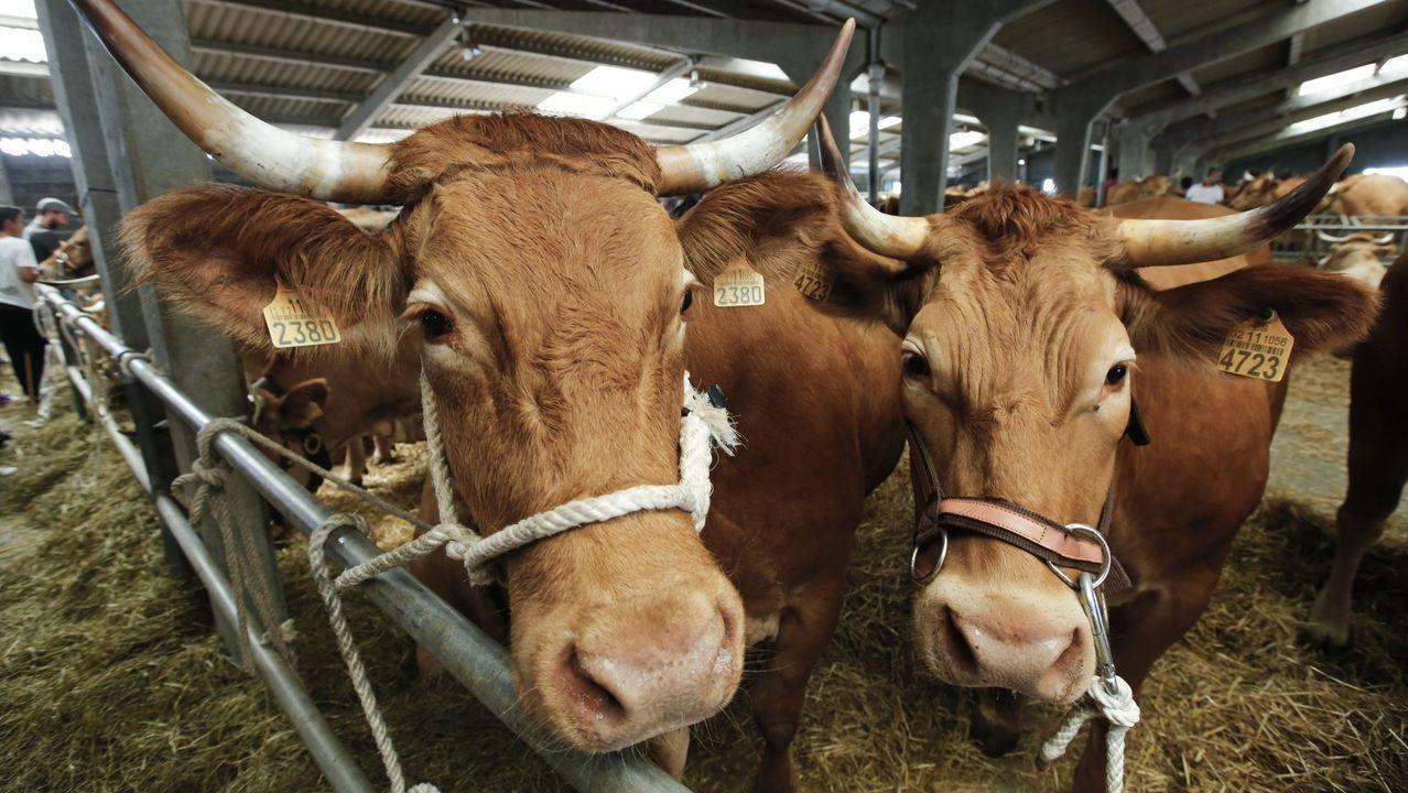 Feria de ganado vacuno de carne en Friol.Friol celebra la Feira do Gando Vacún de Carne