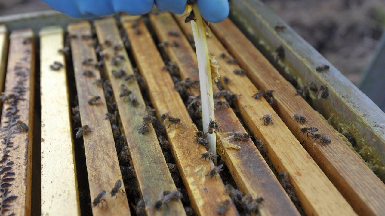El pregón de Amaral y las demás fotos de la Feira do Viño de Amandi 2021.Los puestos de venta de los apicultores locales se instalaron en la calle Real