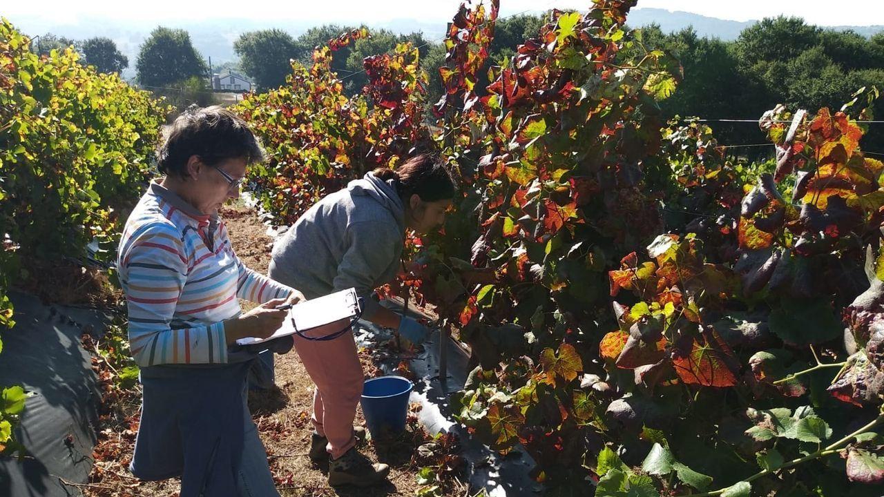 La finca de Portomarín es gestionada por el grupo de investigación en viticultura y sanidad vegetal de la USC