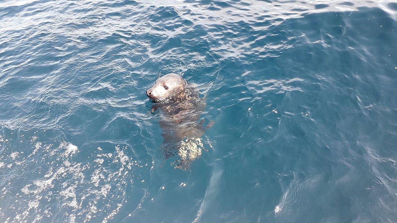 Cría de foca gris liberada en Asturias