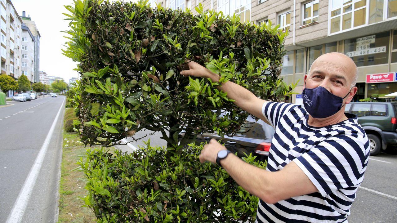 Avelino Carballés en el arbusto donde se ubicaba la colmena, en la avenida de As Américas