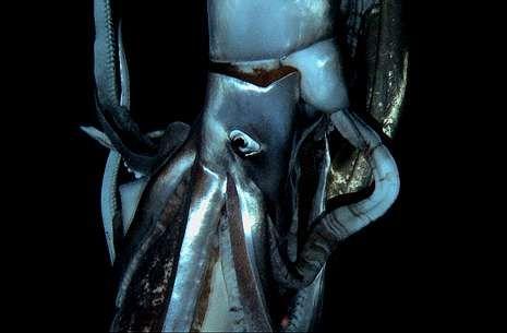 <span lang= es-es >Un ejemplar de ocho metros, sin tentáculos</span>. En la imagen, en primer plano, se aprecian las dimensiones del calamar. Aunque estaba mutilado y le faltaban los tentáculos.
