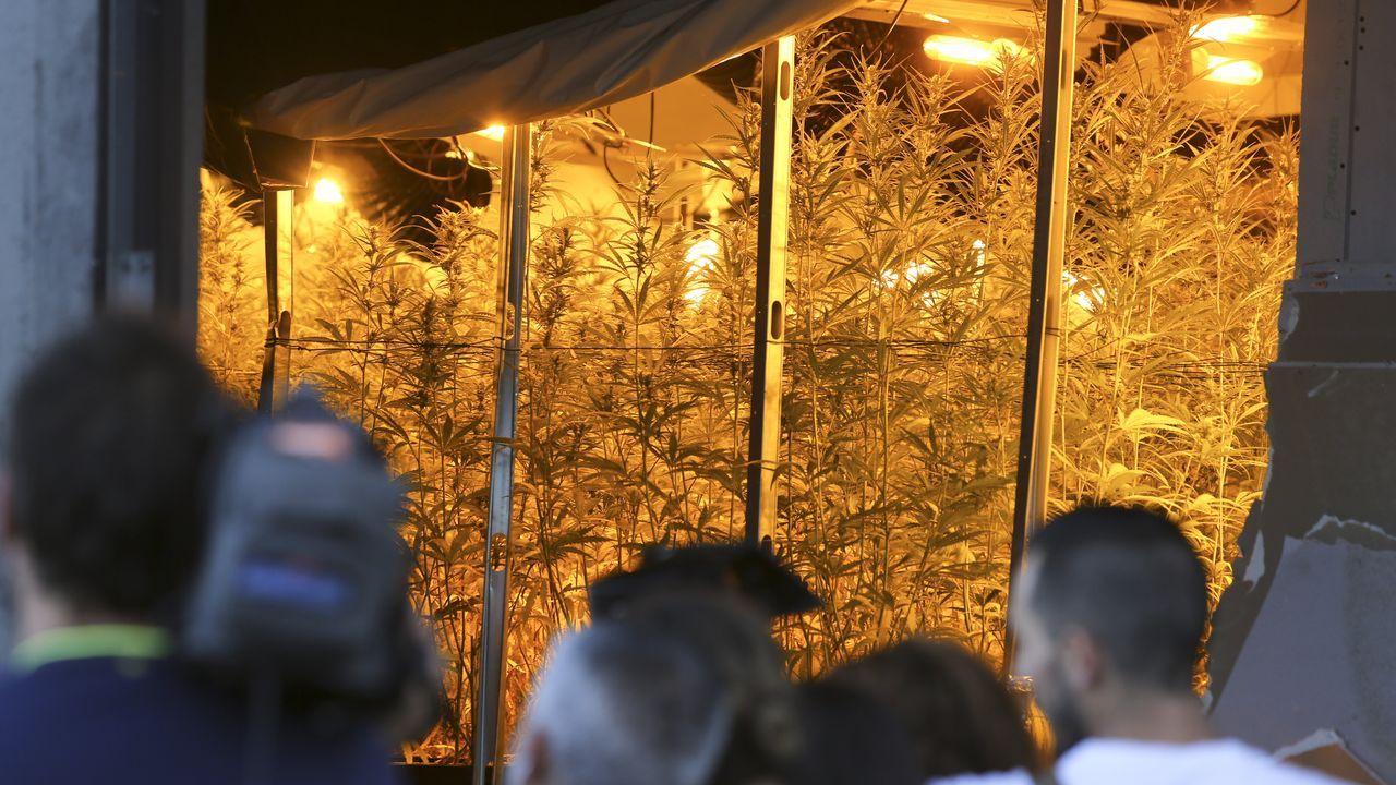 Yo no soy Cañita Brava.4.000 plantas de marihuana en diferentes fases de crecimiento han sido halladas en As Somozas en un operativo liderado por la Guardia Civil