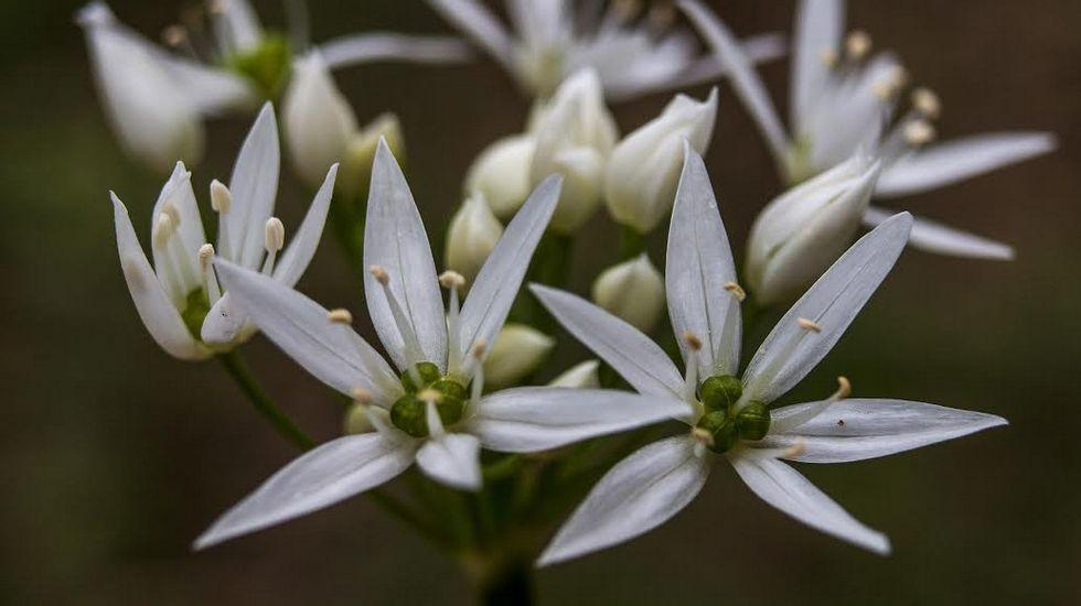 El ajo de oso (Allium ursinum) forma parte de la flora local