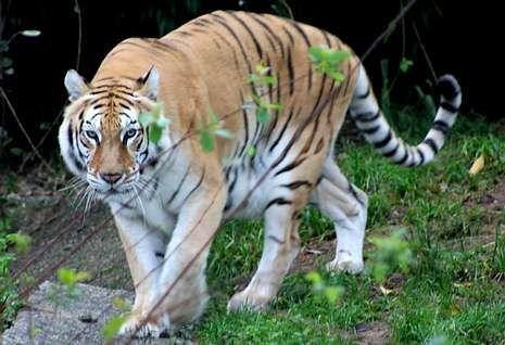 Los veterinarios del zoo temieron por el contagio de la tigresa que queda sana.