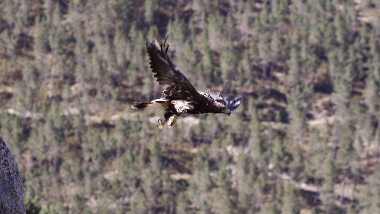 Fauna rara y amenazada del sur lucense.Un águila real reintroducida en el parque natural de O Xurés