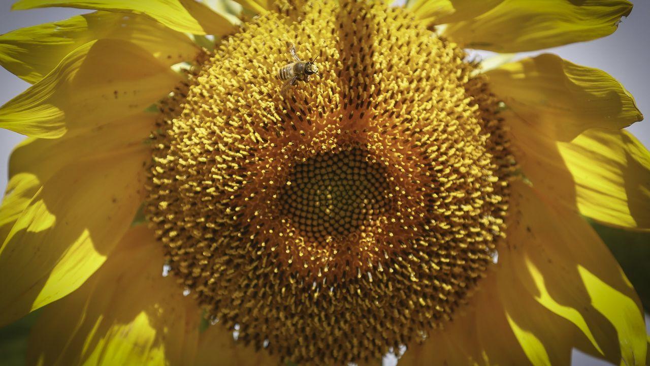 Así se coge un enjambre de abejas con 93 años.La presentación del proyecto tuvo lugar ayer en el Aula da natureza, cedida por Endesa a la Casa do Mel, en la antigua escombrera