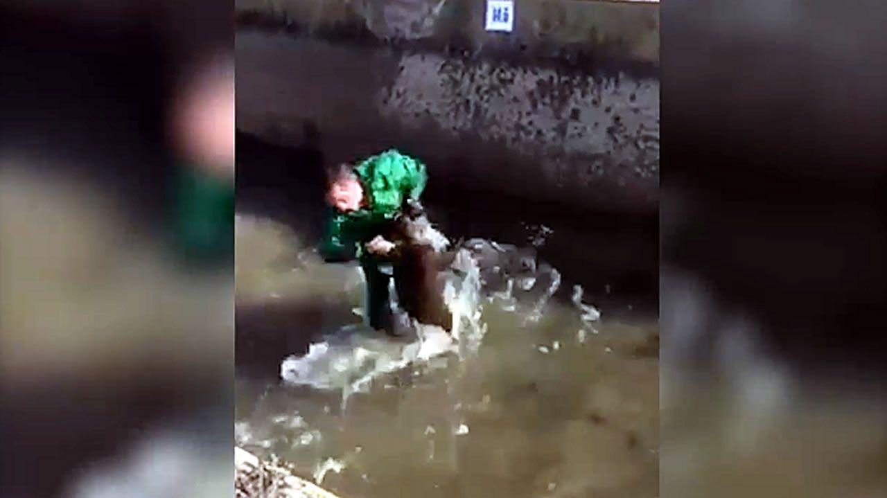Un hombre golpea y ahoga a un jabalí en una acequia.Un ejemplar de lobo
