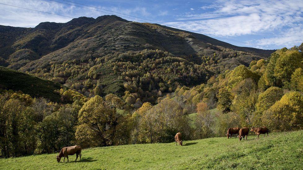 Vacas en un prado con la Devesa de Paderne al fondo