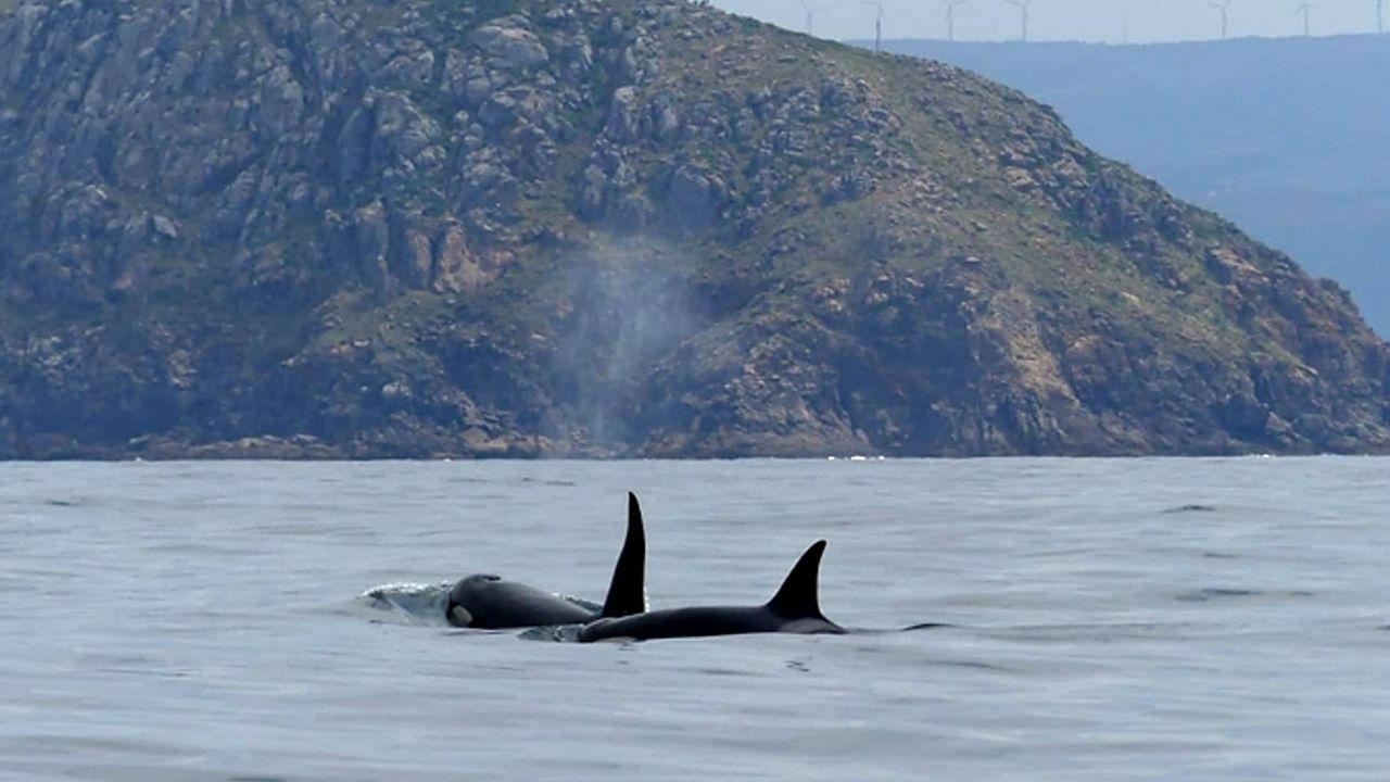 Orcas en Fisterra.García Jambrina destaca que quiso ofrecer una visión «un poco inédita» de la ruta jacobea