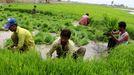 varios trabajadores recogen arroz en un campo de Pakistán en una imagen de archivo
