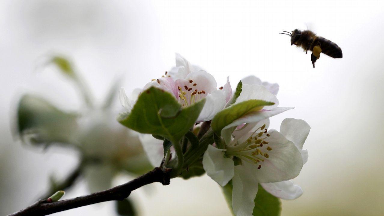 Aspecto que presenta una Pomarada (finca plantada de manzanos) en Tiñana, en las proximidades de Oviedo, en plena floración del manzano