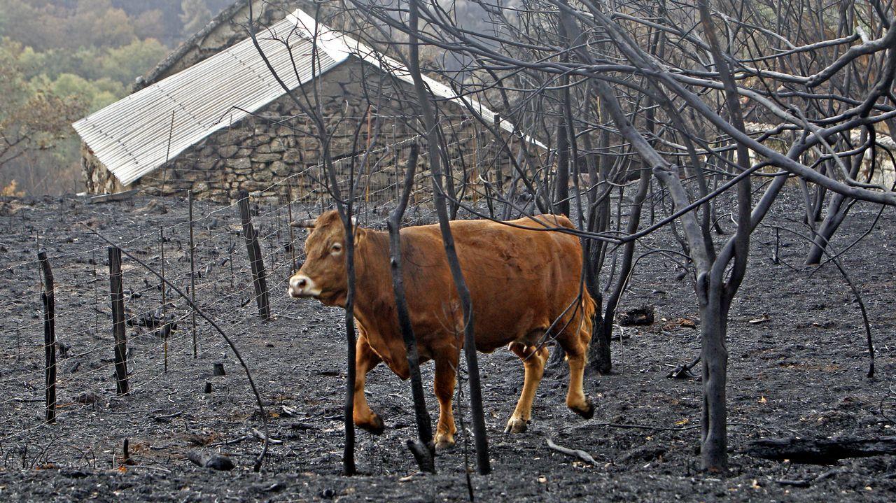 Una vaca en un terreno quemado