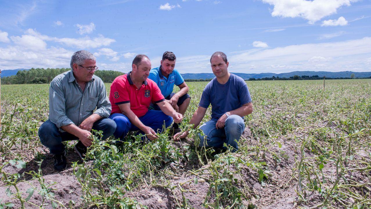 Xunqueira uvas.Agricultores afectados de A Limia muestran desolados los efectos de la granizada en la plantación de patatas