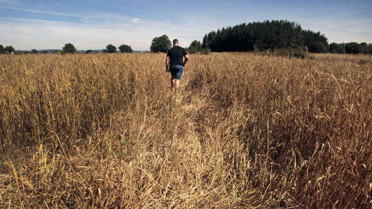 Antonio Rodríguez, tras el rastro que dejaron los jabalíes en una incursión reciente en una finca sembrada de trigo