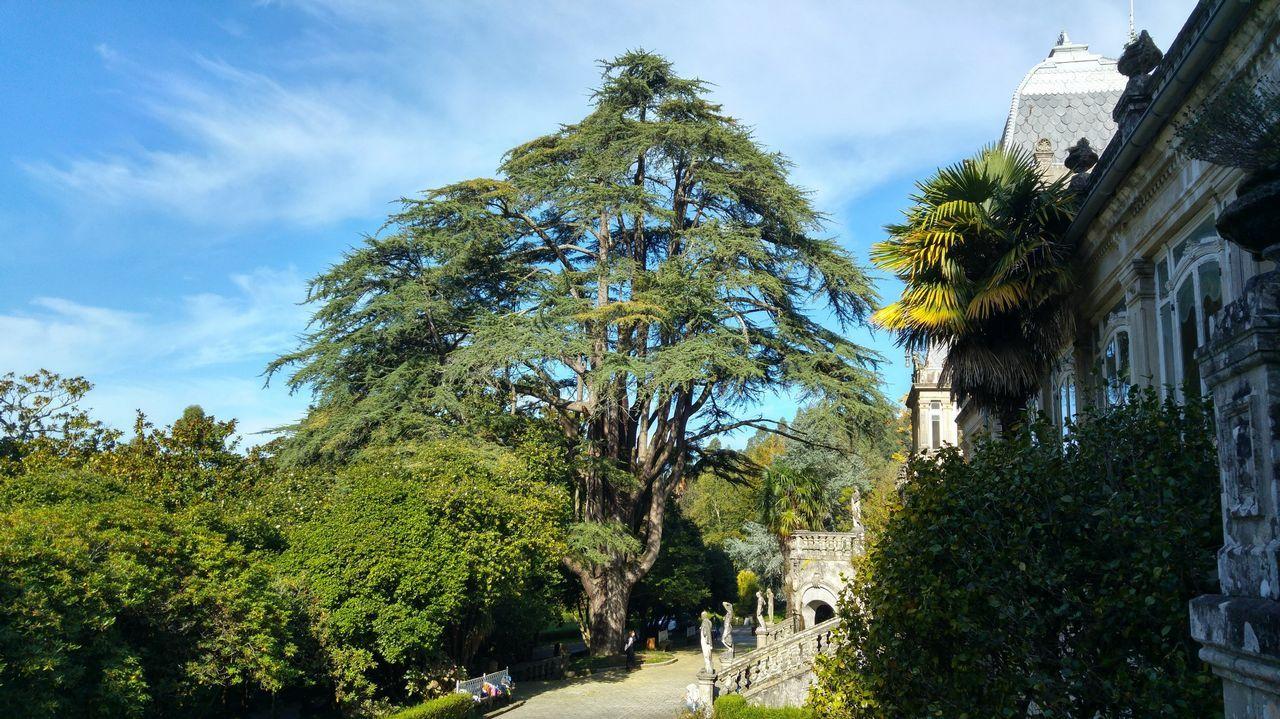 Ellos protegen la Galicia más verde.Cedro del Líbano existente en el Pazo de Lourizán, recogido en el Catálogo de Árbores Senlleiras