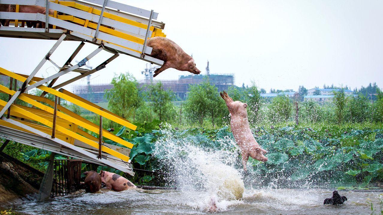 Cerdos al agua en China.