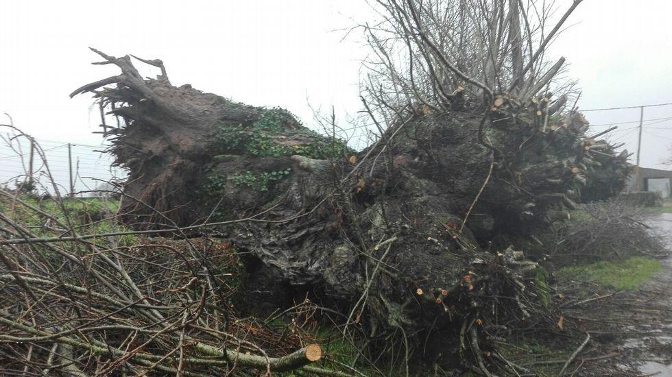 El temporal tiró un castaño de cientos de años de antigüedad en Faxilde, de Sáa.