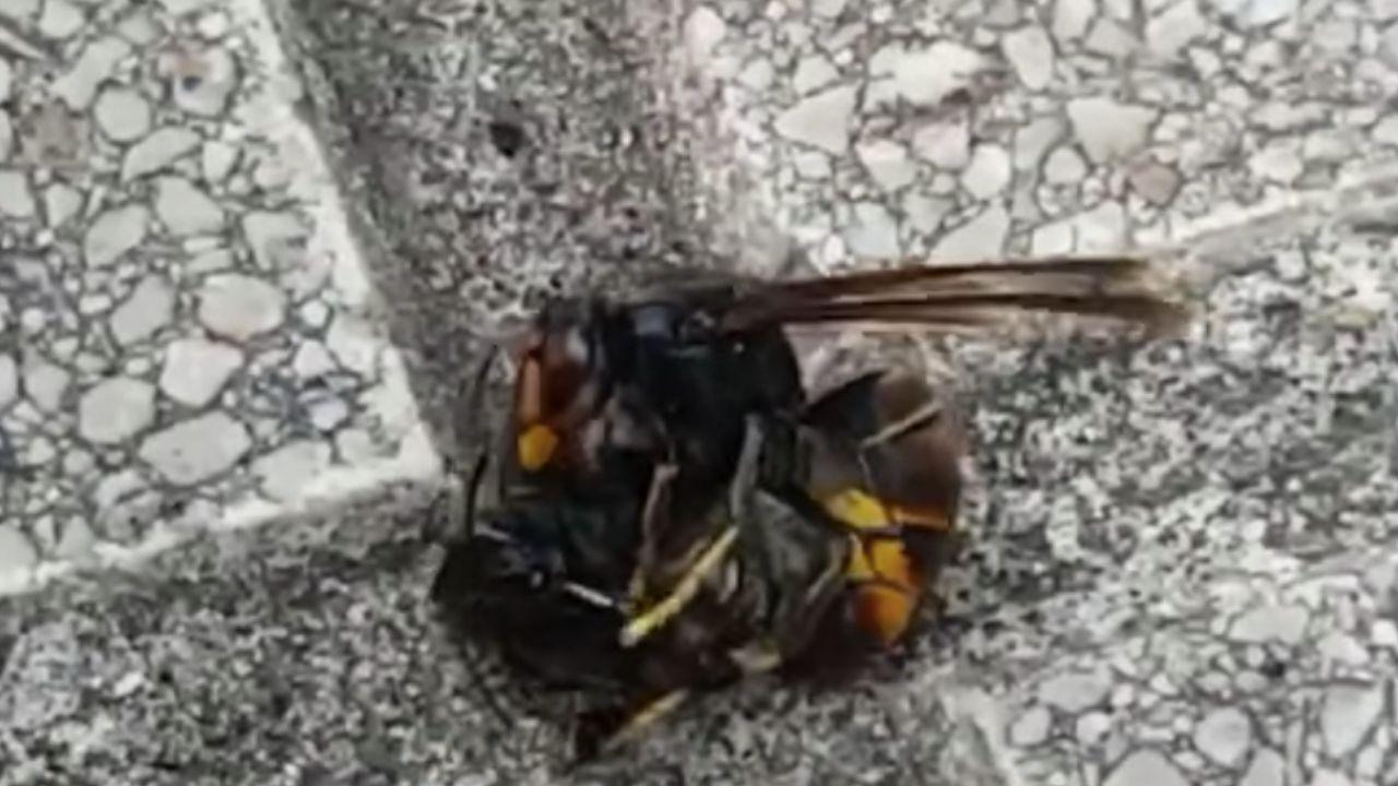 Una avispa asiática ataca a un abejorro en una acera del barrio de El Natahoyo, en Gijón