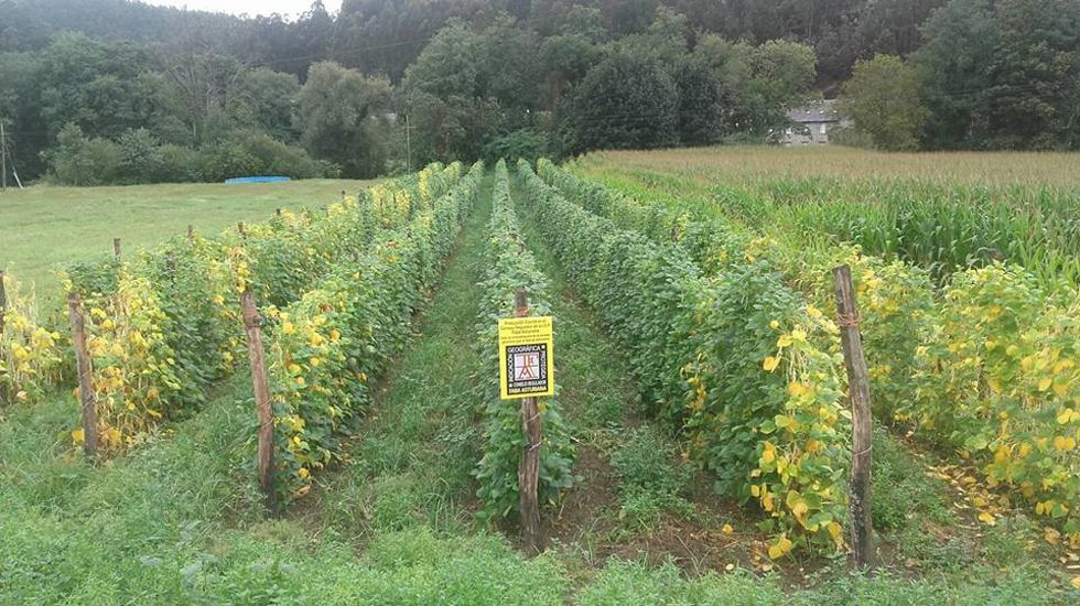 Plantación de Faba Asturiana IGP