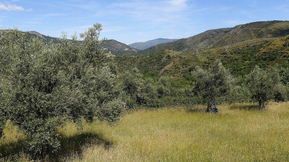 En la aldea se han cultivado tradicionalmente numerosos olivos