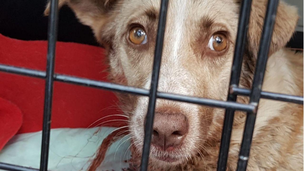Una imagen de la perra tiroteada tomada tras su ingreso en la clínica veterinaria de Chantada