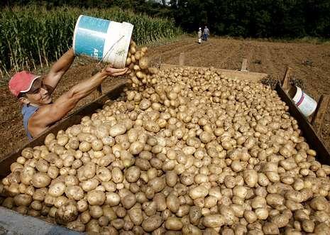 El cultivo de patata ofrece mayores márgenes de beneficio que otros productos agrarios.