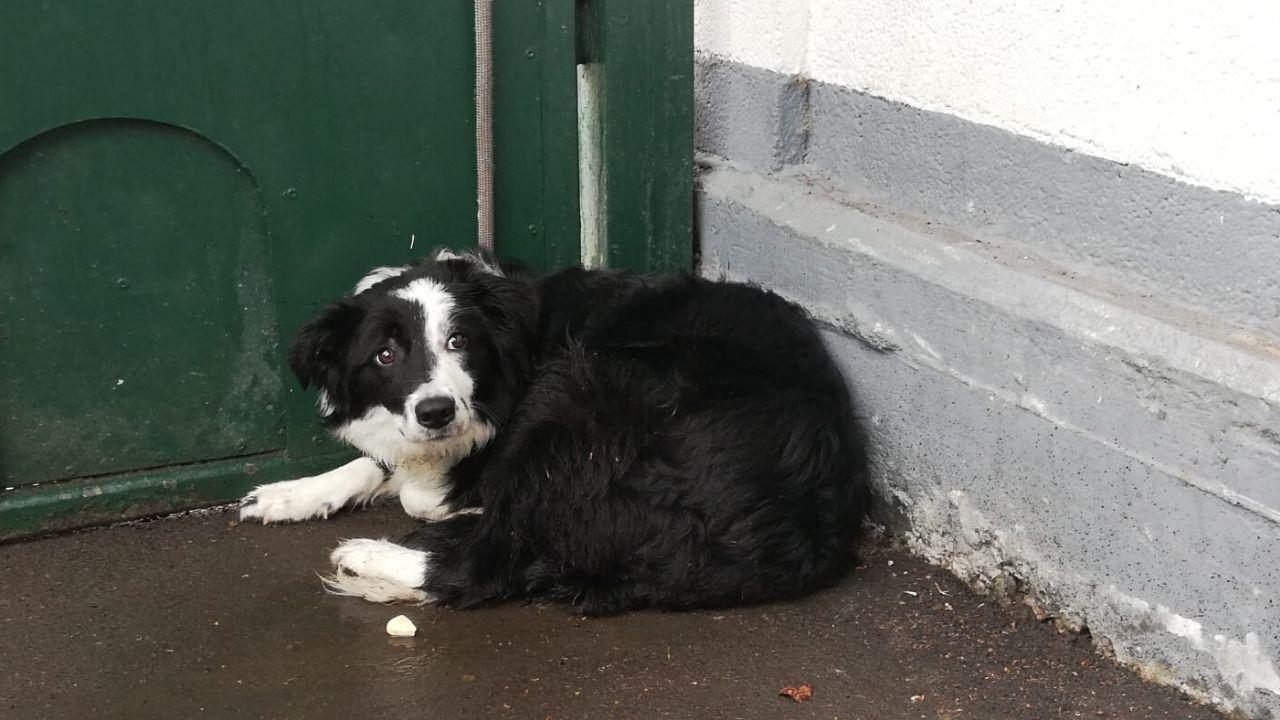 Covi, la border collie que fue abandonada a las puertas del albergue de animales de Oviedo durante la cuarentena