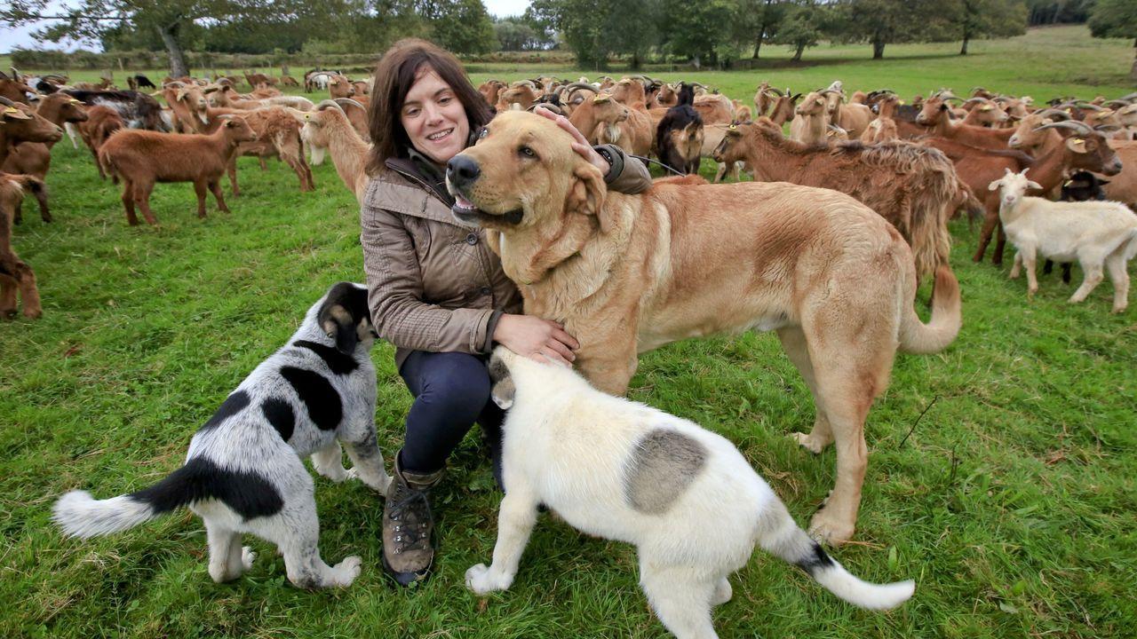 Gemma San Pedro protege con mastines su rebaño de cabras, en el municipio de Guntín
