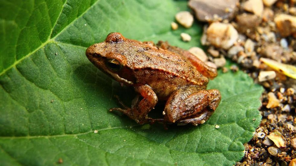 La rana ibérica o patilarga forma parte de la fauna del Cabe