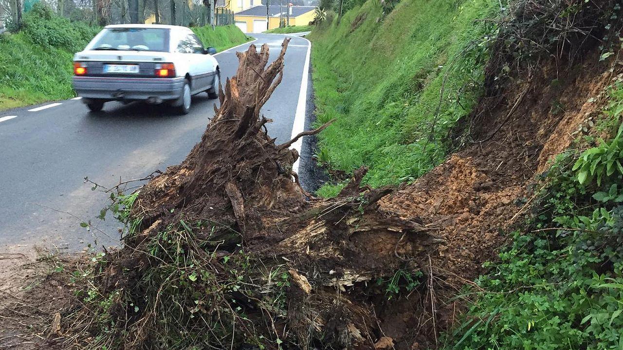 Árbol arrancado en la carretera de Ombre, en Pontedeume