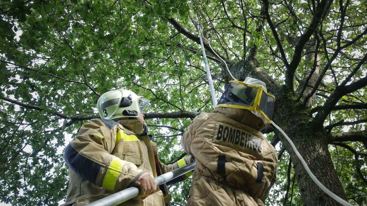 Bomberos de Santiago actúan sobre una nidificación de avispa asiática en Aríns