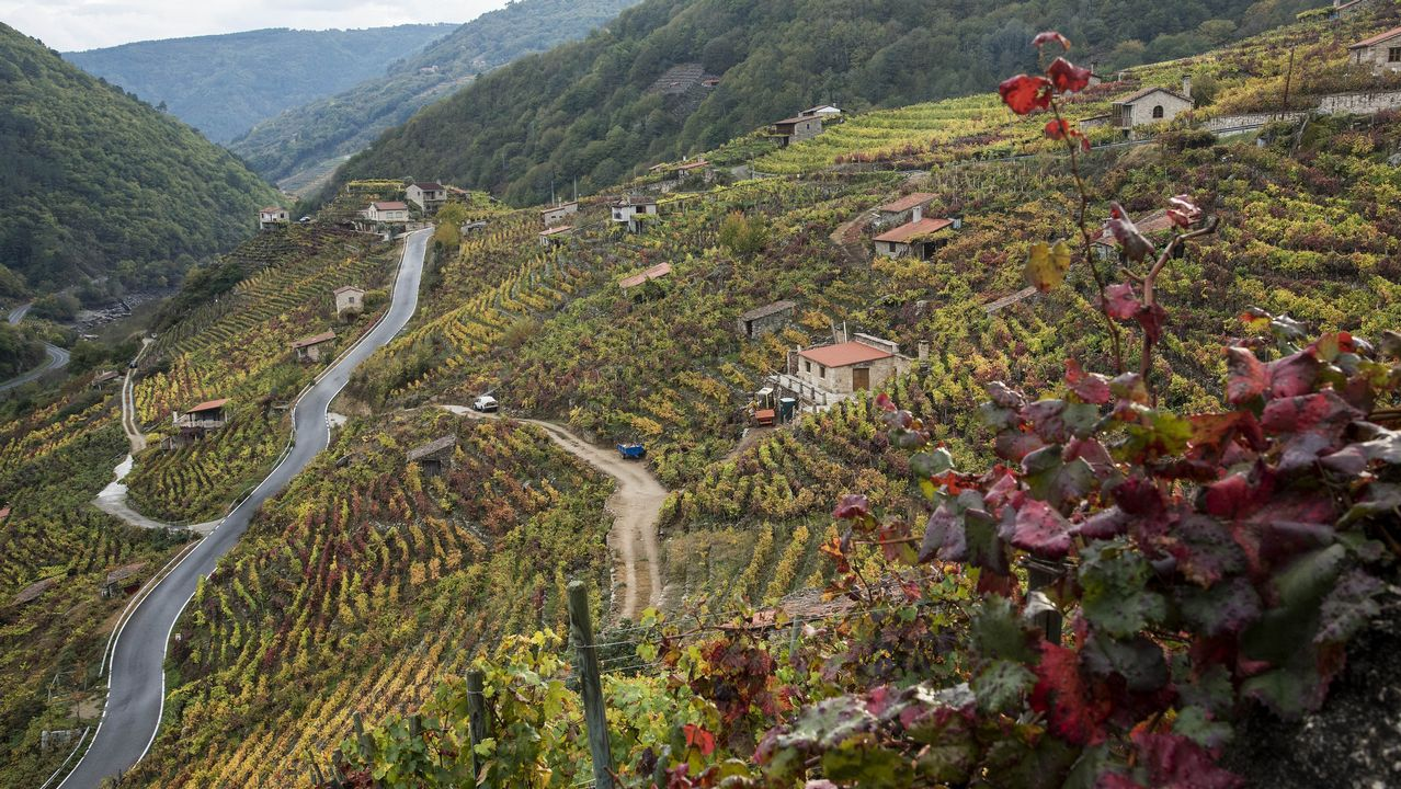 Otra  vista de los viñedos de San Fiz, en Chantada