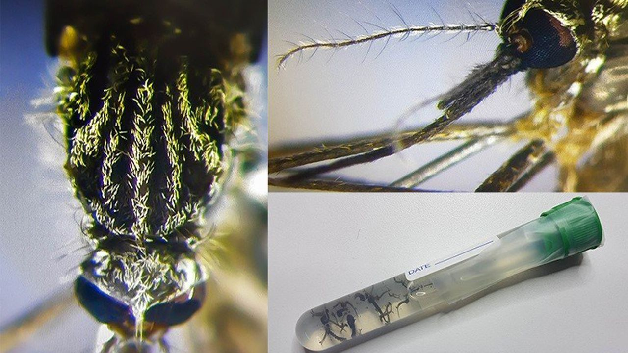 Juzgados Oviedo.El mosquito Aedes japonicus