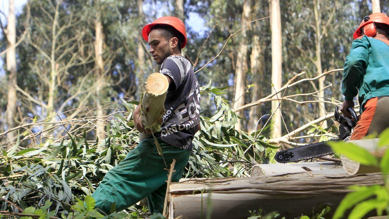 Operarios forestales cortan madera de eucalipto en un monte de Mera, en Ortigueira, en una imagen de archivo