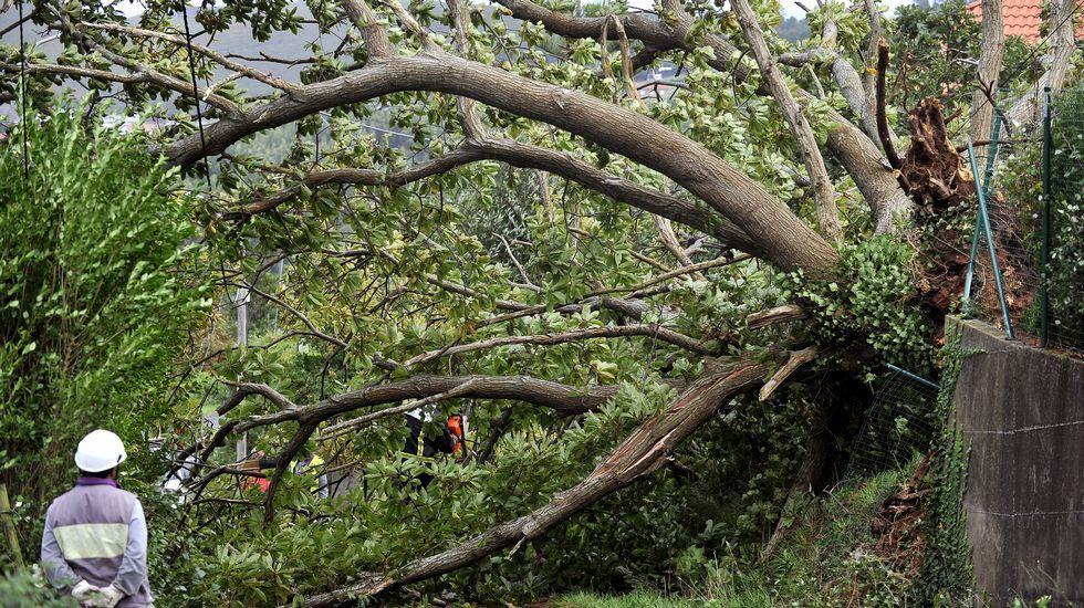 En Pantín, el fuerte viento tumbó este árbol.