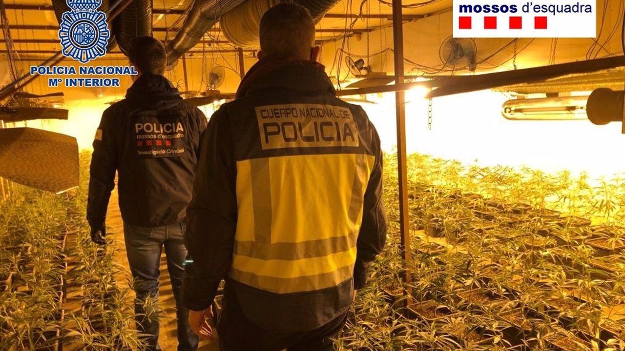 Desarticulada en Oviedo y Gijón una gran red china que producía marihuana en naves industriales.Imagen de archivo de los Mossos d'Esquadra