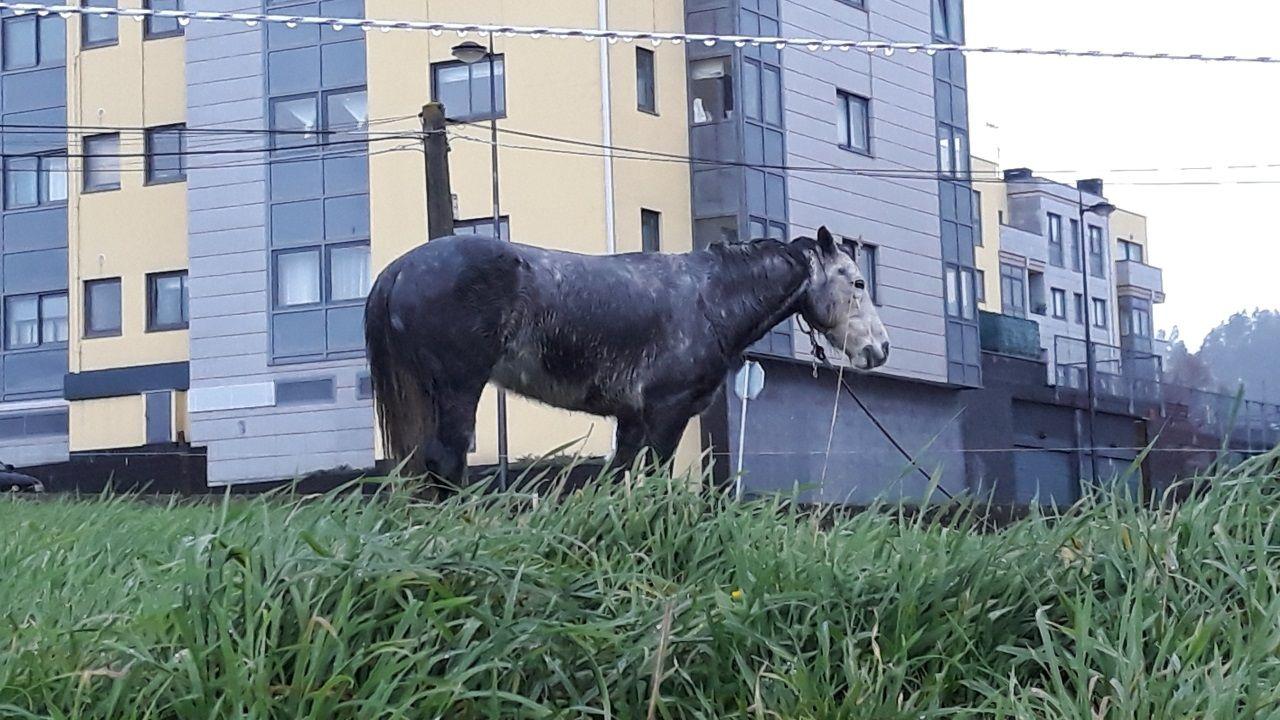 Pleno del concello de Vigo.Caballo atado en O Seixal, Oleiros