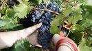 Racimo de mencía en una vendimia en Soutochao, zona de viñedo próxima a Doade