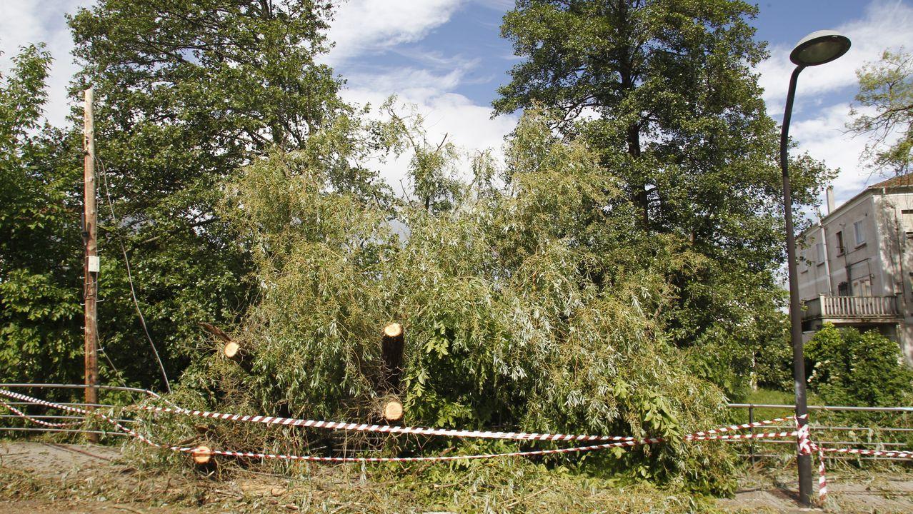 Estos árboles cayeron sobre el tendido telefónico en la calle Rosalía de Castro y lo dejaron fuera de servicio