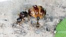 hormiga lasius