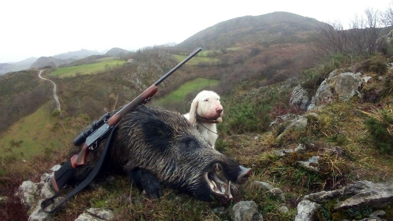 Un jabalí abatido por la Sociedad parraguesa de caza