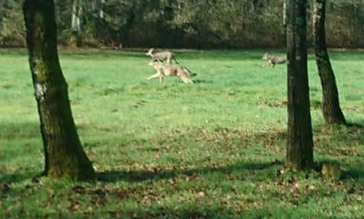 Tres lobos, fotografiados en Chantada