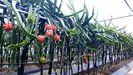 Plantación de pitayas en plena producción en Morás, en el concello de Xove