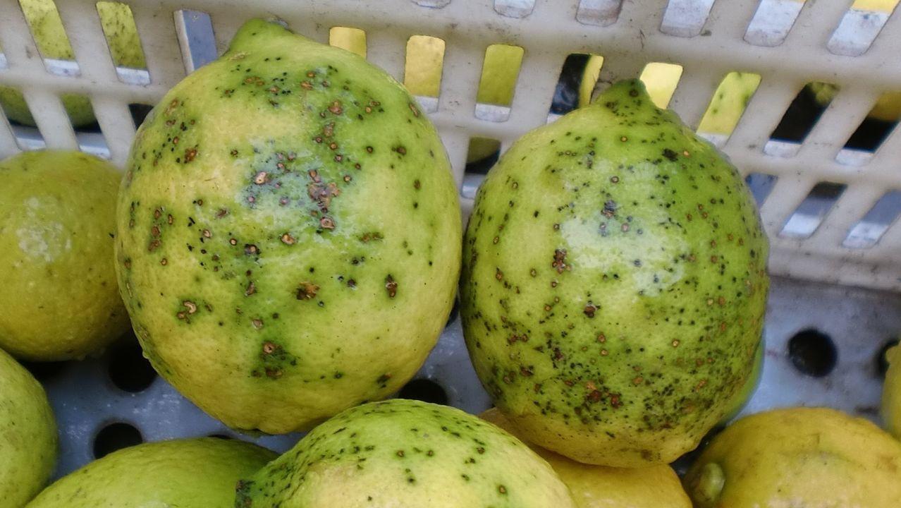 Limones afectados por el hongo de la mancha negra